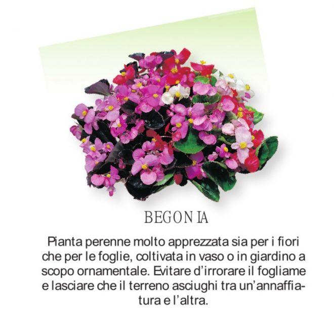 Novità Fiori all'ingrosso - Begonia