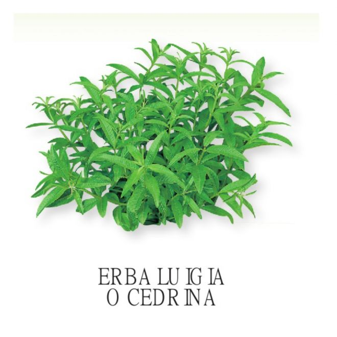 Piantine aromatiche in vaso all'ingrosso - erba Luigia o Cedrina