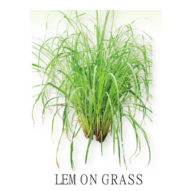 Piantine aromatiche in vaso all'ingrosso - Lemon Grass