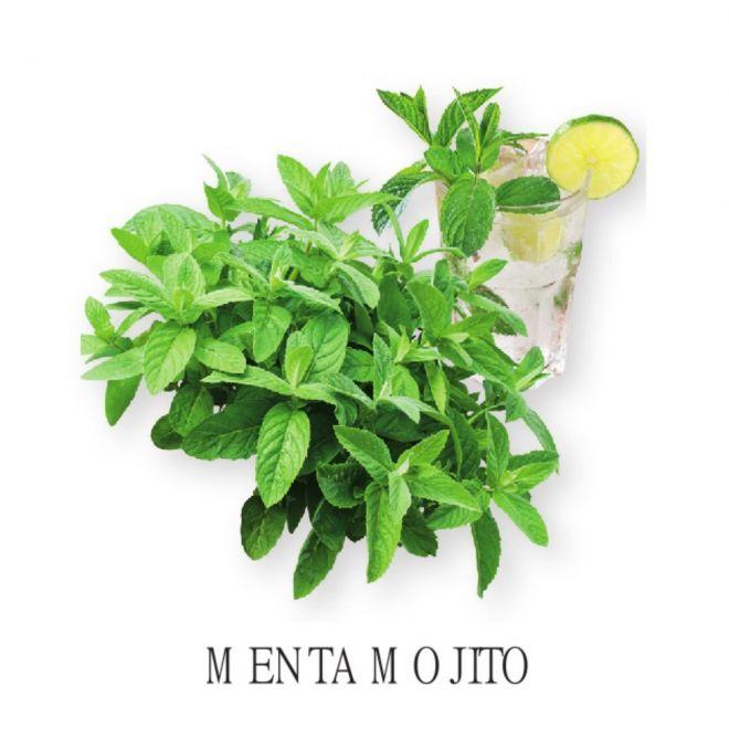 Piantine aromatiche in vaso all'ingrosso - Menta Mojito