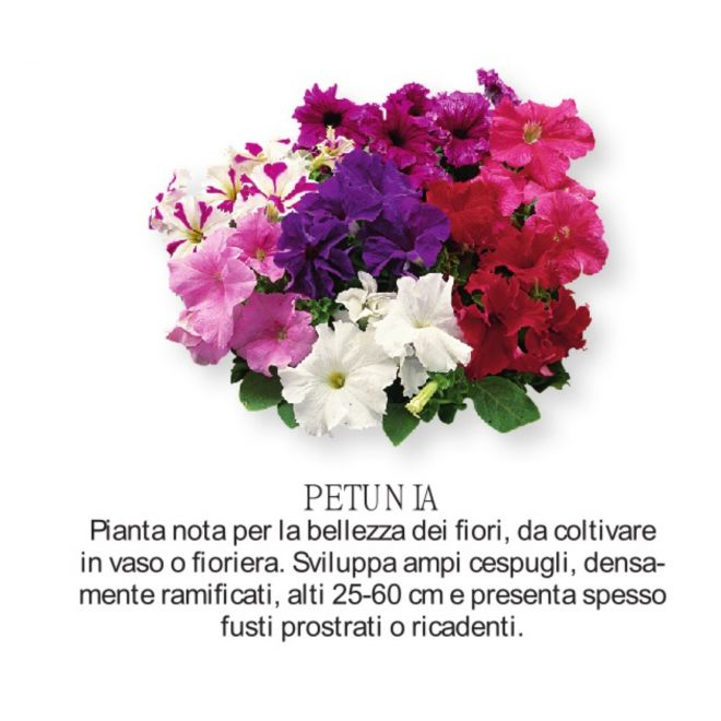 Novità Fiori all'ingrosso - Petunia