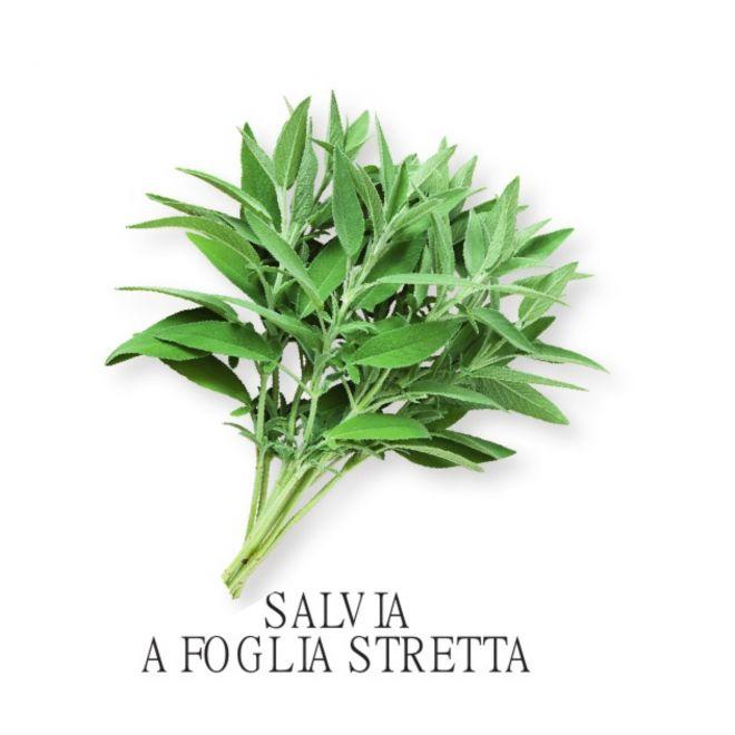 Piantine aromatiche in vaso all'ingrosso - Salvia a foglia stretta