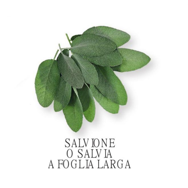 Piantine aromatiche in vaso all'ingrosso - Salvione o Salvia a foglia larga