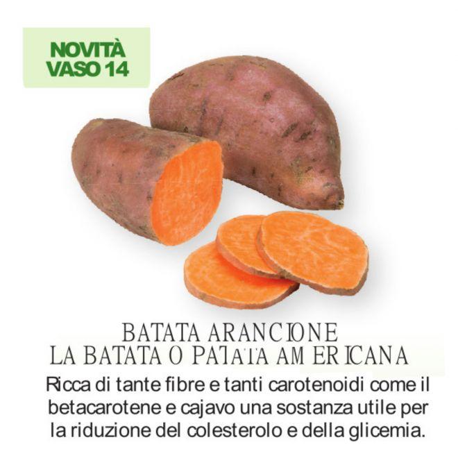 novità 2021 orto per vivai - Batata Arancione - patata americana - vaso 14