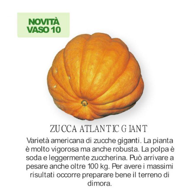 novità 2021 orto per vivai  - Zucca Atlantic giant piantine in vaso 10
